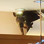 wild boar breaks into store ceiling